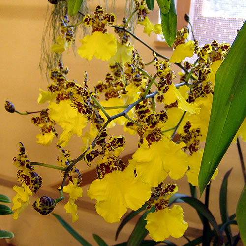 "Oncidium ""Sweet Sugar"""